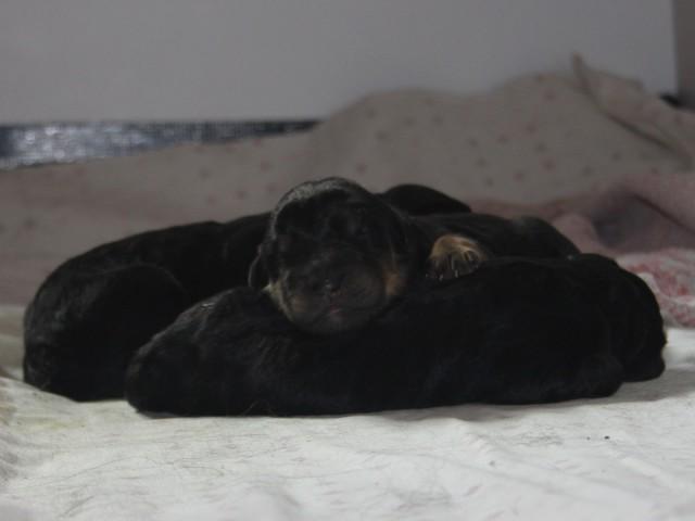 Zwei schwarze und ein schwarzmarkener Welpe kurz nach der Geburt